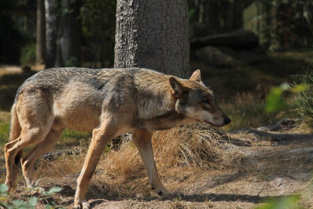 Male European wolf in summer
